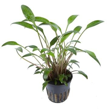 Cryptocoryne x willisii - Aquascaping, [Product_type] - Aquarium plants Canada, [Product_vendor] - Aquarium stone, Driftwood, [shop name] The Wet Leaf