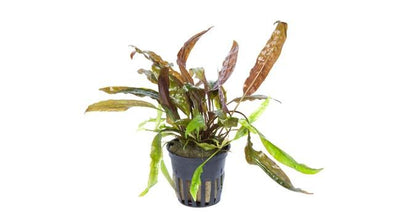 Cryptocoryne usteriana Tropica - Aquascaping, [Product_type] - Aquarium plants Canada, [Product_vendor] - Aquarium stone, Driftwood, [shop name] The Wet Leaf