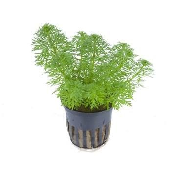 Limnophila sessilifora Tropica - Aquascaping, [Product_type] - Aquarium plants Canada, [Product_vendor] - Aquarium stone, Driftwood, [shop name] The Wet Leaf