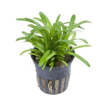 Sagittaria subulata  Tropica - Aquascaping, [Product_type] - Aquarium plants Canada, [Product_vendor] - Aquarium stone, Driftwood, [shop name] The Wet Leaf