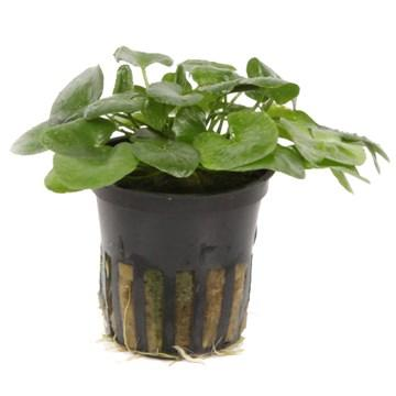 Nymphoides hydrophylla 'Taiwan' - Aquascaping, [Product_type] - Aquarium plants Canada, [Product_vendor] - Aquarium stone, Driftwood, [shop name] The Wet Leaf