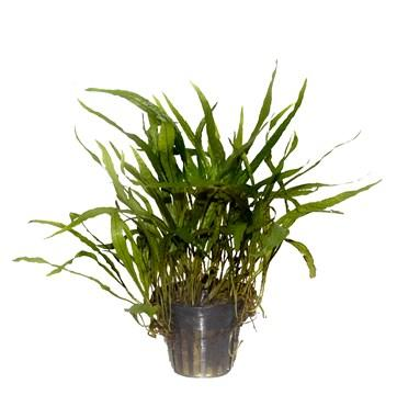 Java Fern, Microsorum pteropus narrow Tropica - Aquascaping, [Product_type] - Aquarium plants Canada, [Product_vendor] - Aquarium stone, Driftwood, [shop name] The Wet Leaf