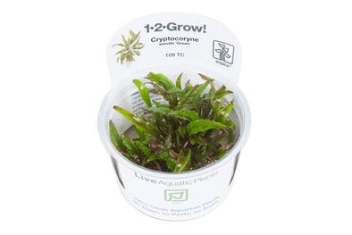 Cryptocoryne wendtii 'Green'  1-2 Grow
