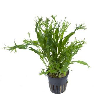 Microsorum pteropus Windelov Tropica - Aquascaping, [Product_type] - Aquarium plants Canada, [Product_vendor] - Aquarium stone, Driftwood, [shop name] The Wet Leaf