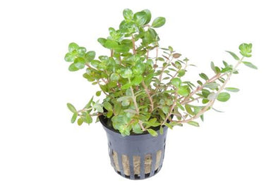 Rotala rontundifolia Tropica - Aquascaping, [Product_type] - Aquarium plants Canada, [Product_vendor] - Aquarium stone, Driftwood, [shop name] The Wet Leaf