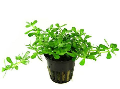 Bacopa compact  Tropica - Aquascaping, [Product_type] - Aquarium plants Canada, [Product_vendor] - Aquarium stone, Driftwood, [shop name] The Wet Leaf