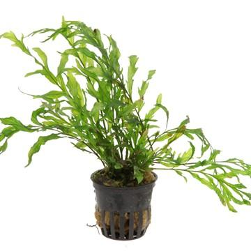 Bolbitis heudelotii Tropica - Aquascaping, [Product_type] - Aquarium plants Canada, [Product_vendor] - Aquarium stone, Driftwood, [shop name] The Wet Leaf