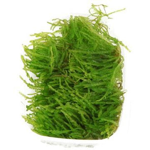 Weeping moss Tropica - Aquascaping, [Product_type] - Aquarium plants Canada, [Product_vendor] - Aquarium stone, Driftwood, [shop name] The Wet Leaf