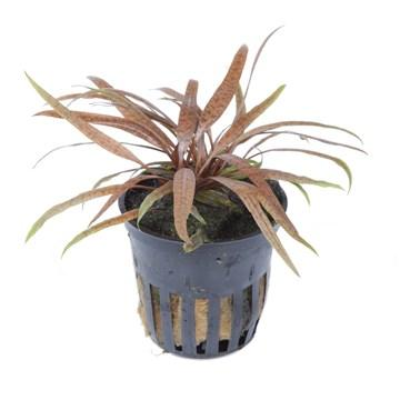 Cryptocoryne albida 'Brown' Tropica - Aquascaping, [Product_type] - Aquarium plants Canada, [Product_vendor] - Aquarium stone, Driftwood, [shop name] The Wet Leaf