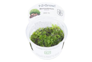 Monosolenium tenerum 1-2 Grow