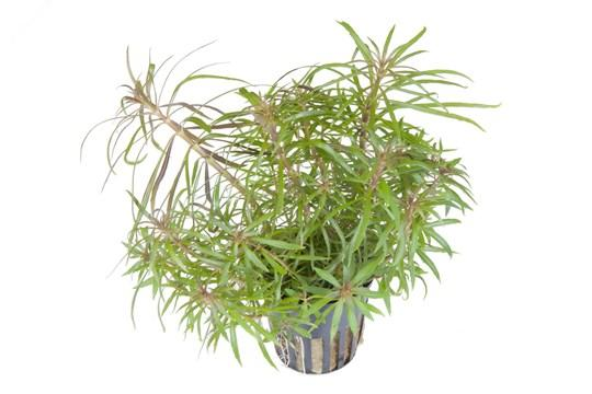 Pogostemon stellata Tropica - Aquascaping, [Product_type] - Aquarium plants Canada, [Product_vendor] - Aquarium stone, Driftwood, [shop name] The Wet Leaf