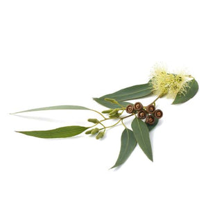 Organic Eucalyptus 100% Pure Therapeutic Essential Oil 10ml