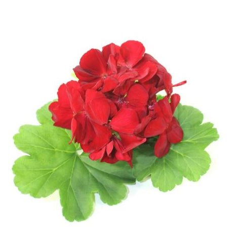 Rose Geranium 100% Pure Therapeutic Essential Oil 10ml