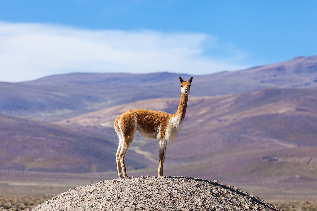 Royal Vicuña - 'the finest wool on the planet'