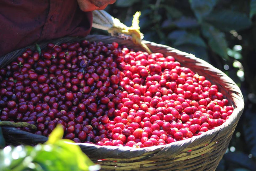 The Road to Perfect Coffee Bean Ripeness