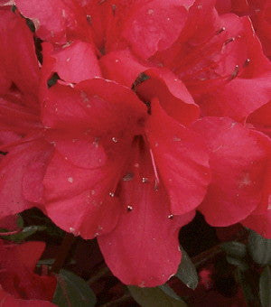 Red Formosa Evergreen Azalea