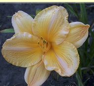 Angels Delight Daylily (Pinkish peach)
