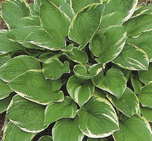 Aureomarginata 'Gold Crown' Hosta