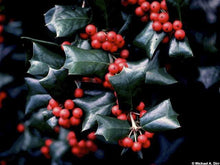 Dazzler Chinese Holly