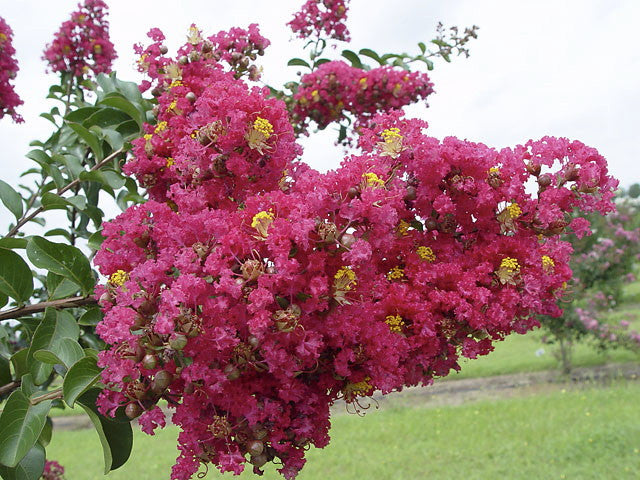Carolina Beauty Crape Myrtle
