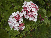 Korean Spice Viburnum (mature height 4' - 6')