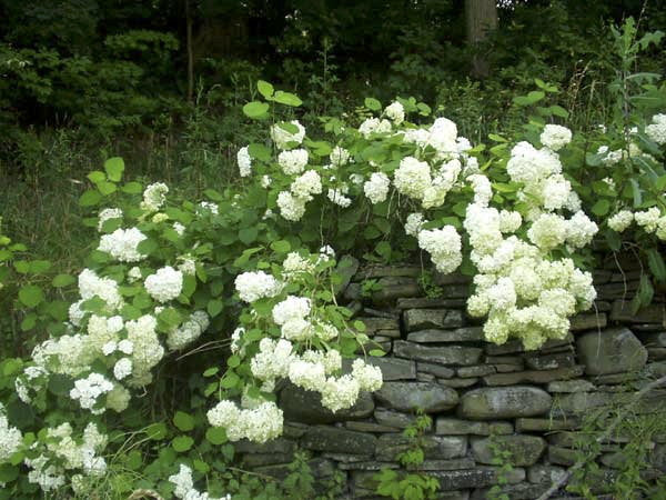 Oakleaf Hydrangea Pee Wee (2' - 4' mature height)