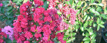 Cedar Lane Red Crape Myrtle