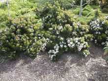 Gulf Green Dwarf Indian Hawthorn