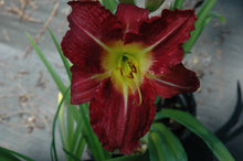 Vintage Bordeaux Daylily (Wine red, tinged purple)
