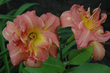 Louise Mercer Daylily (Salmon pink w/yellow)
