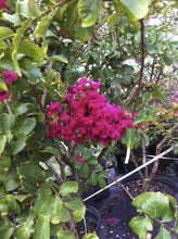 Country Red Crape Myrtle (Matures 10' - 20')