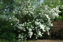 Chinese 'Snowball Bush' Viburnum (10' - 15' mature height)