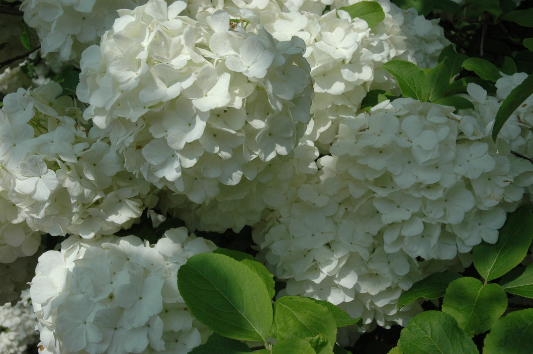 Chinese viburnum, or Snowball bush