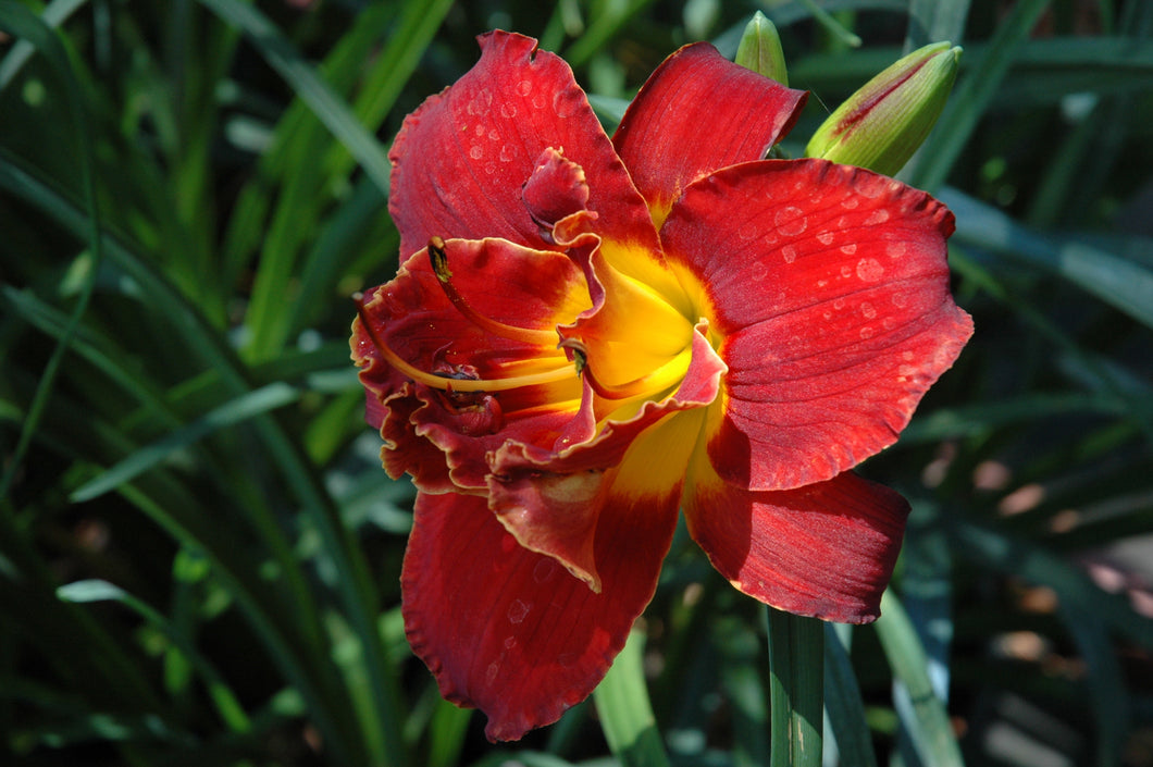 Highland Lord Daylily (Deep red w/yellow tinges)