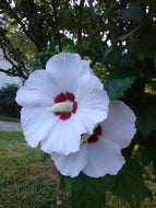 Althea Red Heart Rose of Sharon