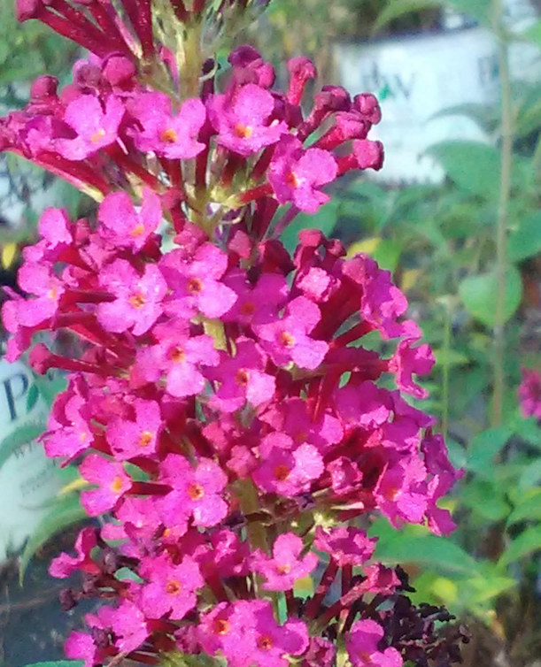 Miss Molly Butterfly Bush (Matures 4' - 5') * SOLD OUT *