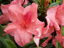 Autumn Coral Encore Azalea (Matures 3')
