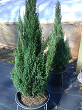 Blue Point Juniper (Matures 12' height)