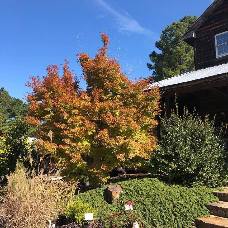 Coral Bark Japanese Maple (Matures 20' - 30')