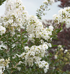 Early Bird White Crape Myrtle (Matures 6')