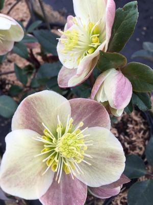 Lenten Rose  'Cinnamon Snow'
