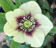 Lenten Rose Honeymoon 'Spanish Flare'