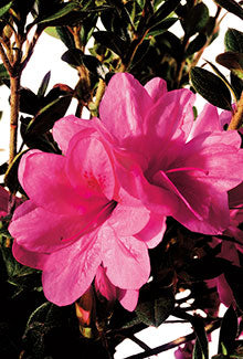 Autumn Empress Encore Azalea (Maturity 2' - 4' height)