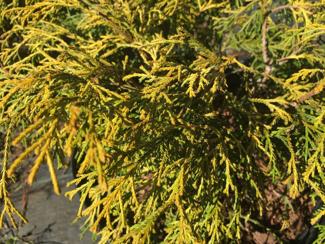 Golden MOPS False Cypress