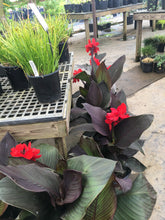 Bronze Scarlet Canna Lily