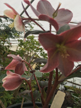 Merlin Lenten Rose * SOLD OUT *