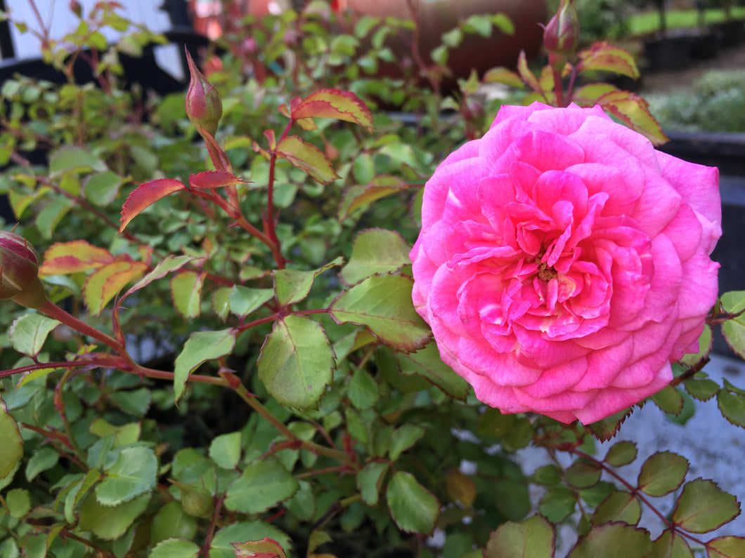 Sweet Drift Rose -  Double Pink