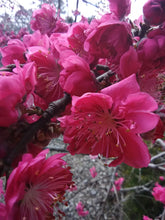 Weeping Double Red Peach (flowering ornamental) * SOLD OUT *