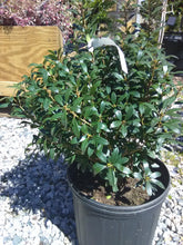 Nigra Inkberry Holly (Matures 6' - 10')