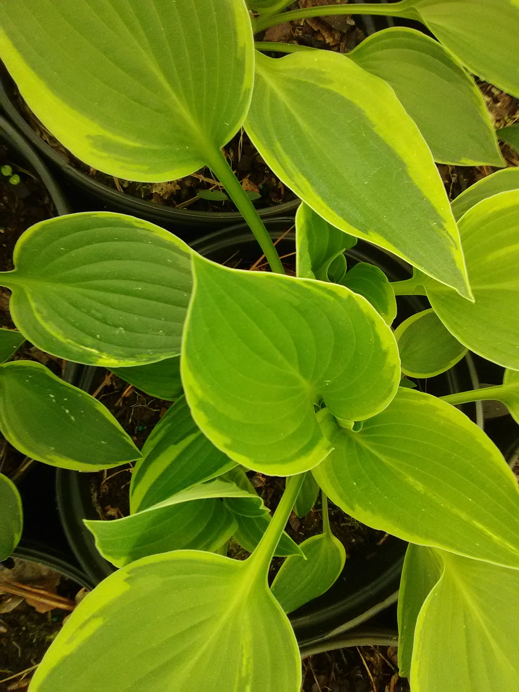 Albo Marginata Variegated Hosta
